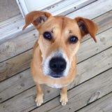 Hund, der um Nahrung bittet Lizenzfreie Stockfotografie