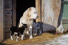 Hund, der um Ziegenschätzchen sich kümmert. Bauernhof. Stockfotos
