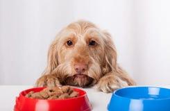 Hund, der ungeduldig Lebensmittel wartet Lizenzfreie Stockfotos