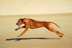 Hund in der vollen Drehzahl Stockfoto