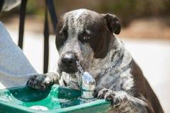 Hund, der vom Brunnen trinkt Stockfoto