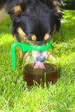 Hund, der vom Krug trinkt Stockfotografie