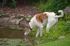 Hund, der vom Teich trinkt Stockbild