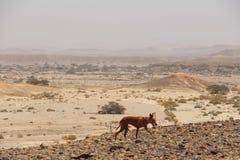 Hund in der Wüste Lizenzfreies Stockbild
