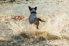 Hund, der in Wasser von Meer läuft Stockfoto