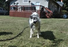 Hund, der weg vom Wasser im Hinterhof rüttelt Stockfoto