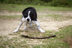 Hund, der weg vom Wasser rüttelt Lizenzfreie Stockbilder