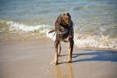 Hund, der weg vom Wasser rüttelt Stockfotos