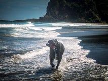 Hund, der in Wellen bei Karekare läuft Lizenzfreie Stockfotos