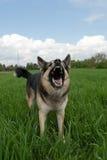 Hund, der Zähne zeigt Stockbild