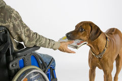 Hund, der Zeitung holt Stockbilder