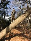 Hund, der Zirkus in der Natur spielt Stockfotografie