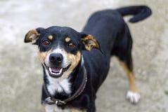 Hund der Zuchtmestize der schwarzen Farbe und der Teile weiß und Haselnussfarbdes wedelns glücklich lizenzfreies stockbild