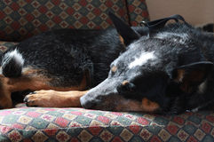 Hund, der zuhause auf Möbeln schläft lizenzfreies stockbild