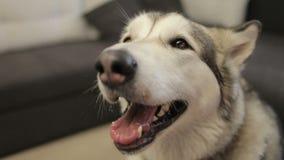 Hund des alaskischen Malamute, der zu Hause im Wohnzimmer sitzt stock footage
