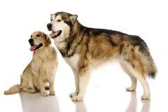 Hund des alaskischen Malamute und goldener Apportierhund Lizenzfreies Stockfoto