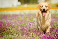 Hund des goldenen Apportierhunds Lizenzfreies Stockbild