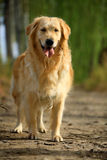 Hund des goldenen Apportierhunds stockfotografie