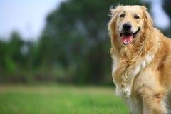 Hund des goldenen Apportierhunds lizenzfreies stockfoto