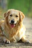 Hund des goldenen Apportierhunds lizenzfreie stockfotos