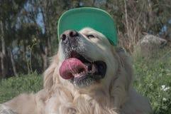 Hund des goldenen Apportierhunds Stockbild