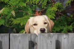Hund des goldenen Apportierhunds Lizenzfreie Stockbilder