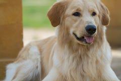 Hund des goldenen Apportierhunds Stockbilder