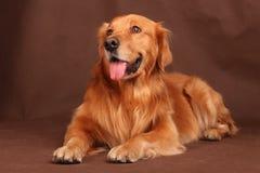 Hund des goldenen Apportierhunds Stockfotos