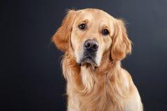 Hund des goldenen Apportierhunds auf Schwarzem Lizenzfreie Stockfotografie