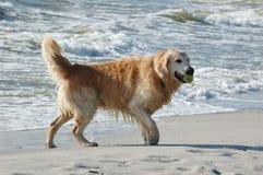 Hund des goldenen Apportierhunds in dem Meer Lizenzfreie Stockfotos