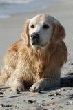 Hund des goldenen Apportierhunds, der auf dem Strand liegt Lizenzfreie Stockfotografie