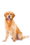 Hund des goldenen Apportierhunds, der auf Weiß sitzt Stockfoto