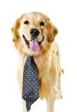 Hund des goldenen Apportierhunds, der eine Gleichheit trägt Lizenzfreies Stockfoto