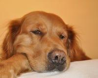 Hund des goldenen Apportierhunds. Hintergrund mit Farbe. Stockfoto