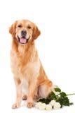 Hund des goldenen Apportierhunds mit weißen Rosen auf Weiß Stockbilder