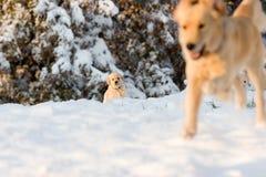 Hund des goldenen Apportierhunds mit Welpen. Stockfotos