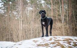 Hund des großen Dänen Stockfotos