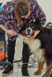 Hund des Groomer und des bernese Berges lizenzfreie stockbilder