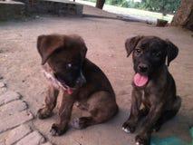 Hund des Inders zwei auf Straße Lizenzfreies Stockfoto