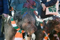 Hund des irischen Wolfshunds und sein Eigentümer an der St- Patrick` s Tagesfeier in Moskau Stockfotos