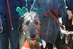 Hund des irischen Wolfshunds und sein Eigentümer an der St- Patrick` s Tagesfeier in Moskau Stockfoto