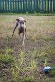 Hund des italienischen Windhunds, der auf dem Rasen spielt Lizenzfreie Stockfotografie