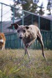 Hund des italienischen Windhunds, der auf dem Rasen spielt Stockfotografie