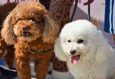 Hund des Pudels zwei Stockfotografie