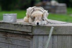 Hund des sibirischen Huskys stockfoto