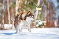 Hund des sibirischen Huskys, der draußen spielt Stockbilder