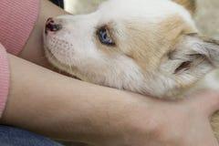 Hund des sibirischen Huskys draußen mit woman's übergibt das Halten es Lizenzfreies Stockbild