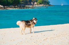 Hund des sibirischen Huskys genießen auf dem Strand morgens mit beauti Lizenzfreies Stockfoto
