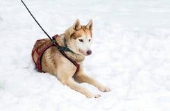 Hund des sibirischen Huskys sitzt auf dem Schnee Stockfotos