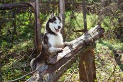 Hund des sibirischen Schlittenhunds stockbild